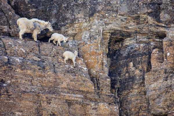 mountain-goats-climbing (19)
