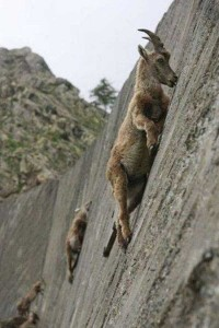 These Extraordinary Goats Are Able to Climb Almost Anywhere (25 photos) 2