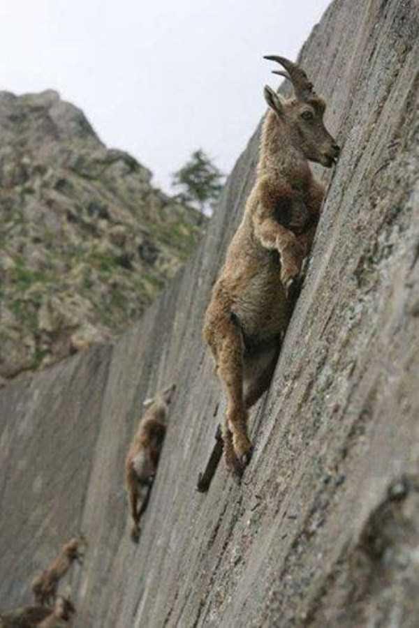 mountain-goats-climbing (2)