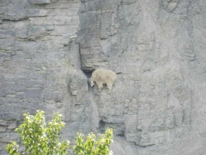 These Extraordinary Goats Are Able to Climb Almost Anywhere (25 photos) 20