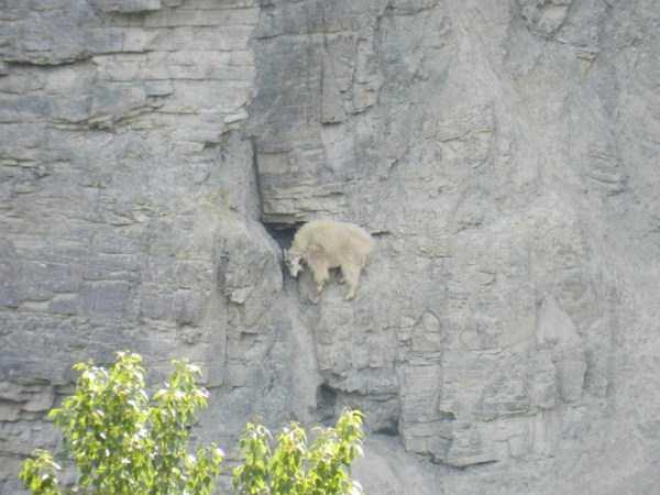 mountain-goats-climbing (20)