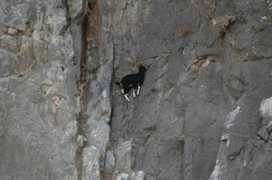 These Extraordinary Goats Are Able to Climb Almost Anywhere (25 photos) 21