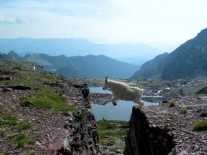 These Extraordinary Goats Are Able to Climb Almost Anywhere (25 photos) 23