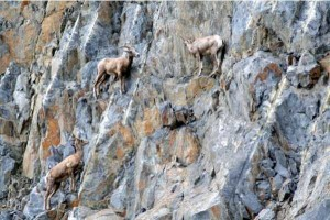 These Extraordinary Goats Are Able to Climb Almost Anywhere (25 photos) 24