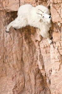 These Extraordinary Goats Are Able to Climb Almost Anywhere (25 photos) 25