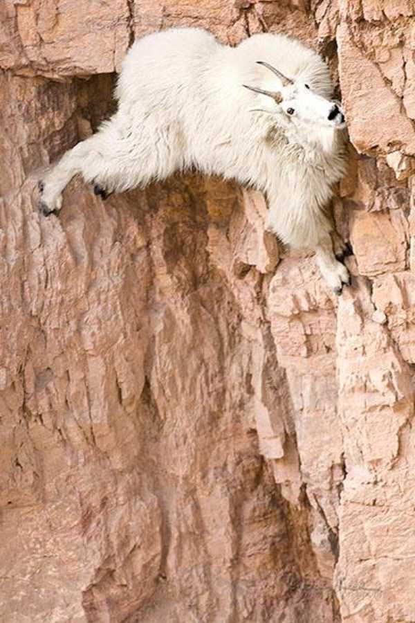 mountain-goats-climbing (25)
