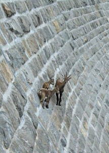 These Extraordinary Goats Are Able to Climb Almost Anywhere (25 photos) 6