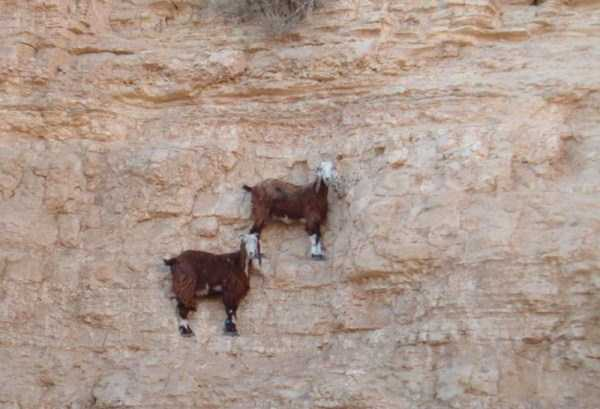 mountain-goats-climbing (7)