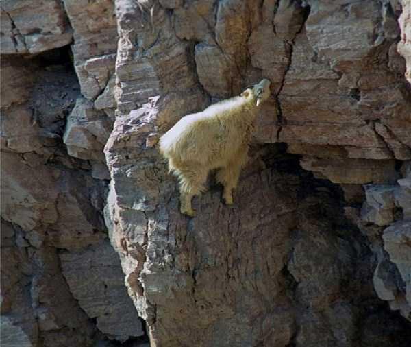 mountain-goats-climbing (9)