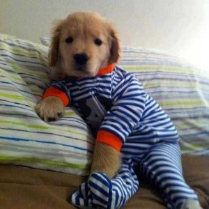 Dogs in Pijamas are Ridiculously Cute (24 photos) 12