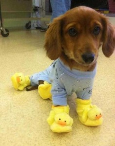 Dogs in Pijamas are Ridiculously Cute (24 photos) 19