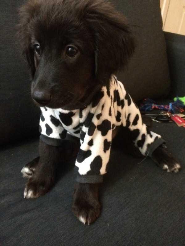 dogs-wearing-pijamas (23)