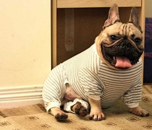 Dogs in Pijamas are Ridiculously Cute (24 photos) 6