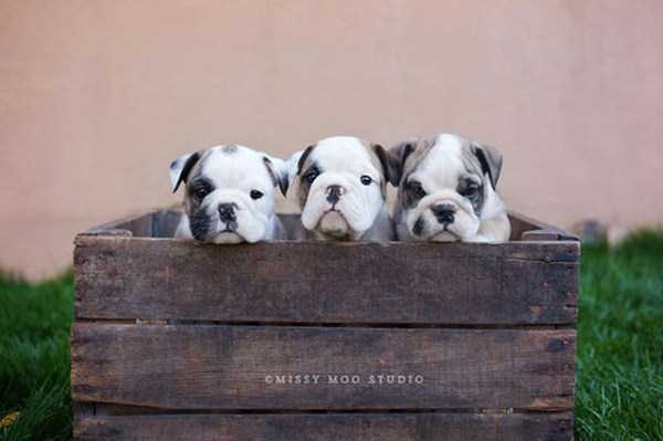 adorable-bulldog-puppiesjpg (11)