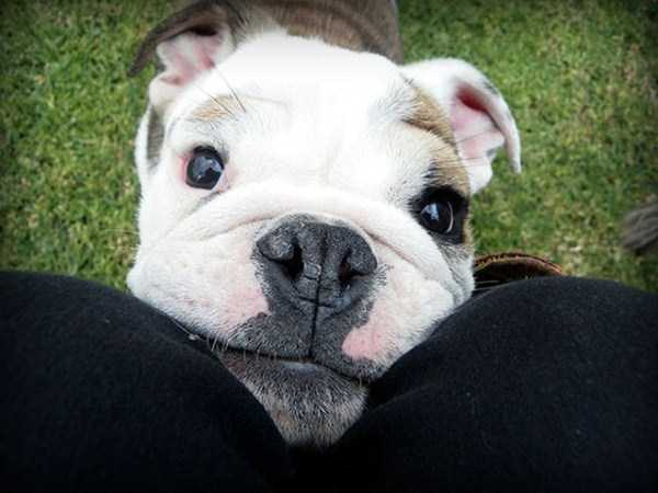 adorable-bulldog-puppiesjpg (13)