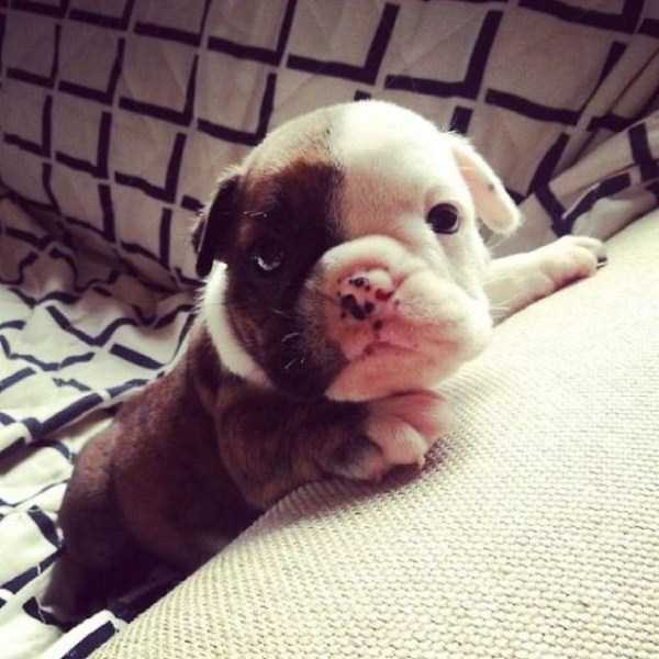 adorable-bulldog-puppiesjpg (21)