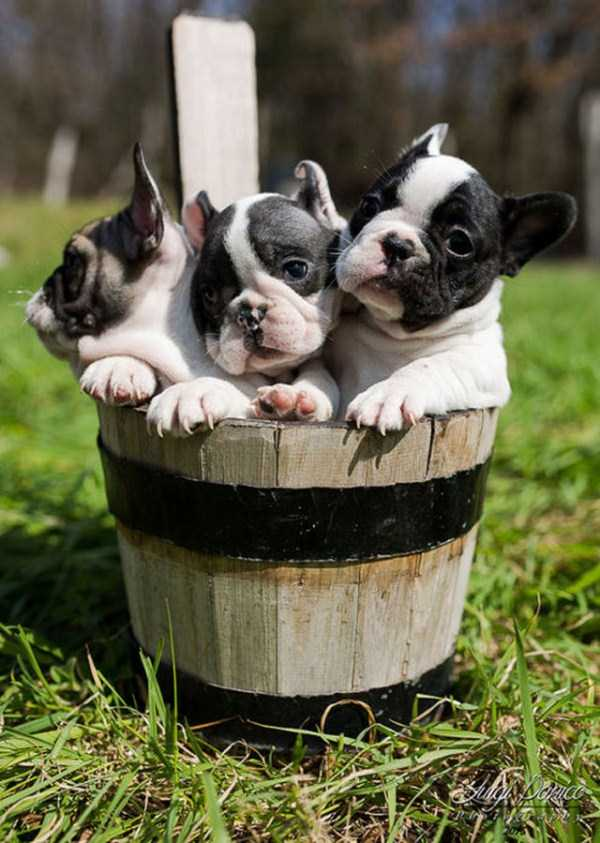 adorable-bulldog-puppiesjpg (3)