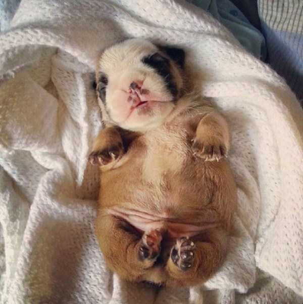 adorable-bulldog-puppiesjpg (34)
