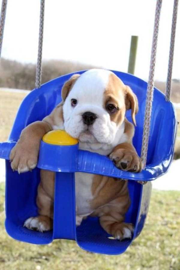 adorable-bulldog-puppiesjpg (39)