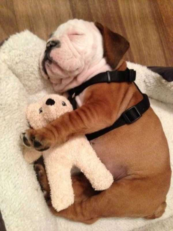 adorable-bulldog-puppiesjpg (40)
