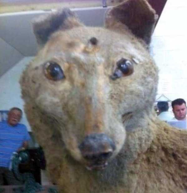 examples-of-bad-taxidermy (12)
