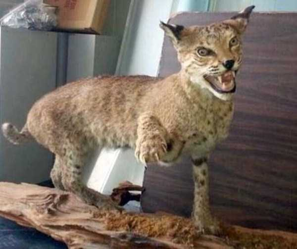 examples-of-bad-taxidermy (18)