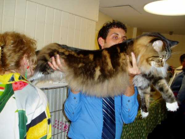 giant-domestic-cats (12)