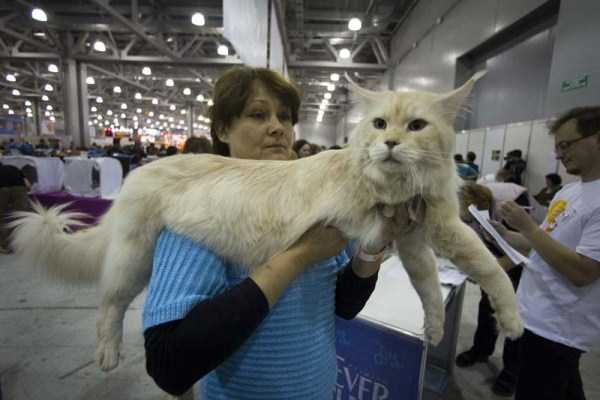 giant-domestic-cats (16)