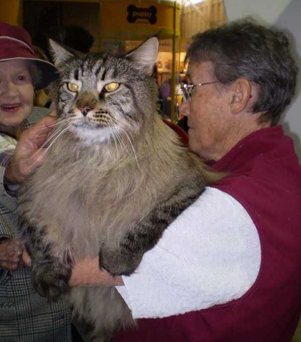 giant-domestic-cats (17)
