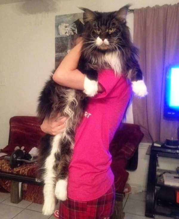giant-domestic-cats (18)