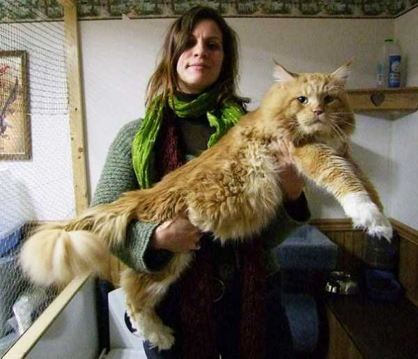 giant-domestic-cats (23)