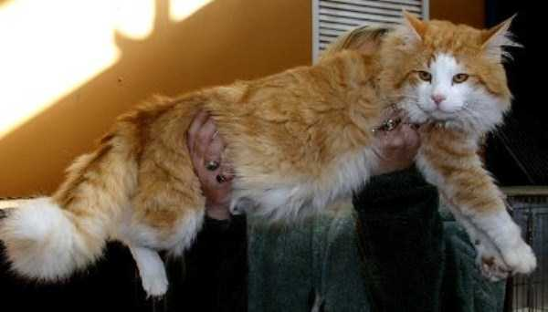 giant-domestic-cats (3)