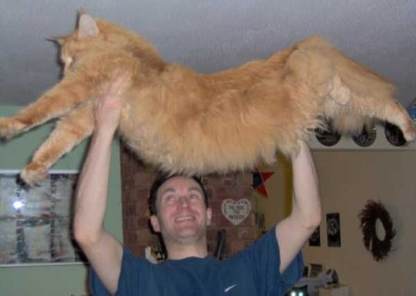 giant-domestic-cats (7)