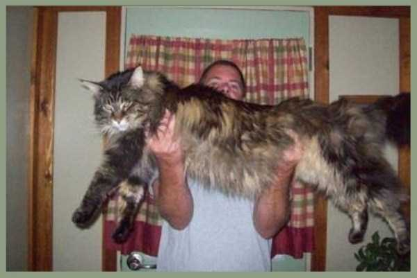 giant-domestic-cats (8)