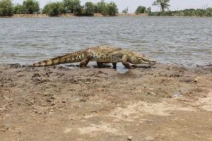 A Place Where People and Crocodiles Coexist Peacefully (13 photos) 9