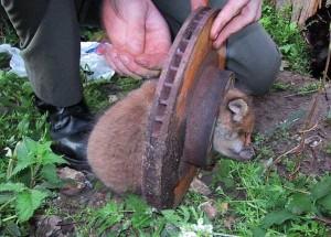 Unlucky Animals Stuck In Odd Places (60 photos) 15
