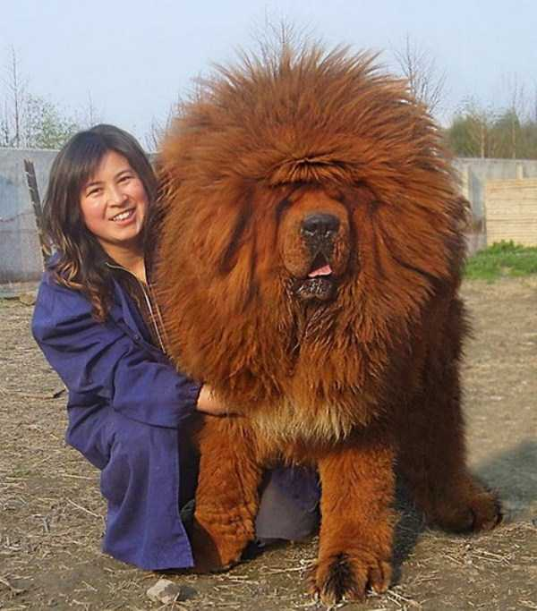 the-biggest-dogs (21)