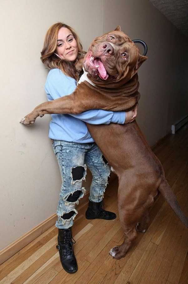 the-biggest-dogs (23)