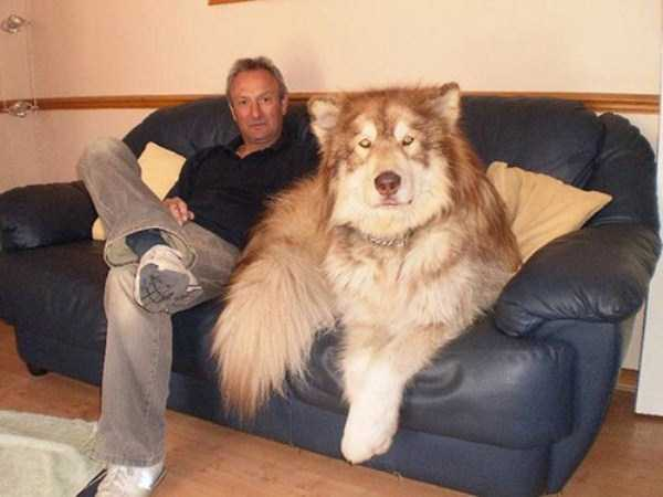 the-biggest-dogs (25)