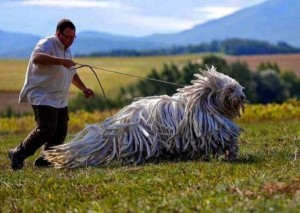 43 Dogs Who Are Clearly Not Regular-Sized (43 photos) 27