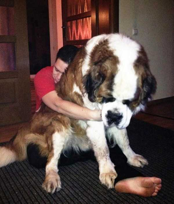 the-biggest-dogs (30)