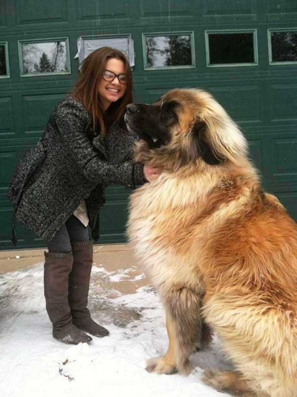 the-biggest-dogs (33)