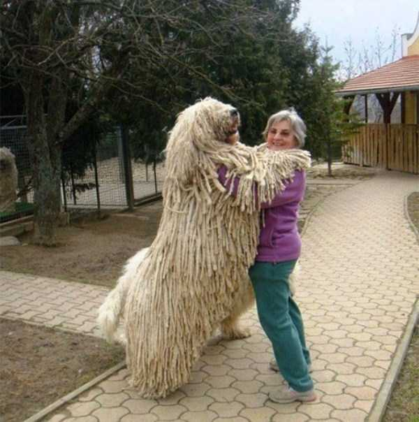 the-biggest-dogs (34)