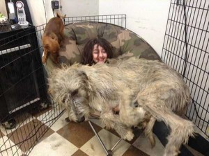 43 Dogs Who Are Clearly Not Regular-Sized (43 photos) 39