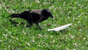 Environmentally Conscious Crow (5 photos) 1