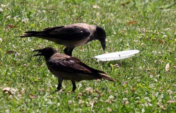 crow-cleans-garbage (2)