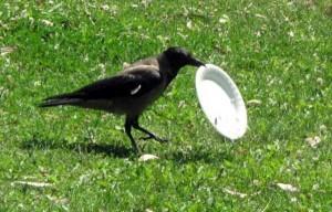 Environmentally Conscious Crow (5 photos) 3
