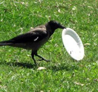 Environmentally Conscious Crow (5 photos)