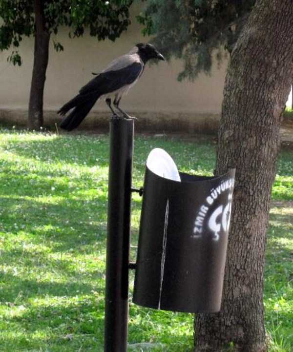 crow-cleans-garbage (5)