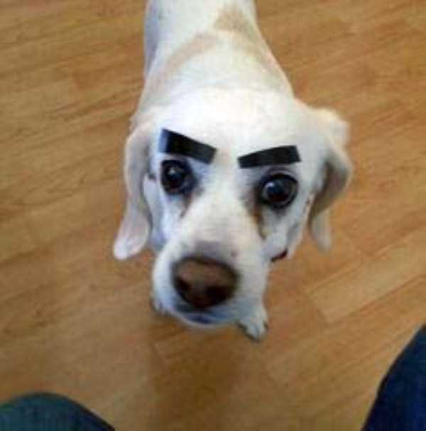 dogs-with-fake-eyebrows (1)
